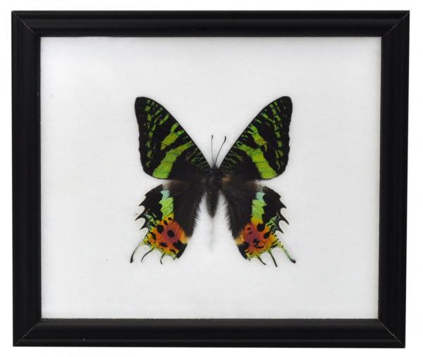Butterflies from Thailand